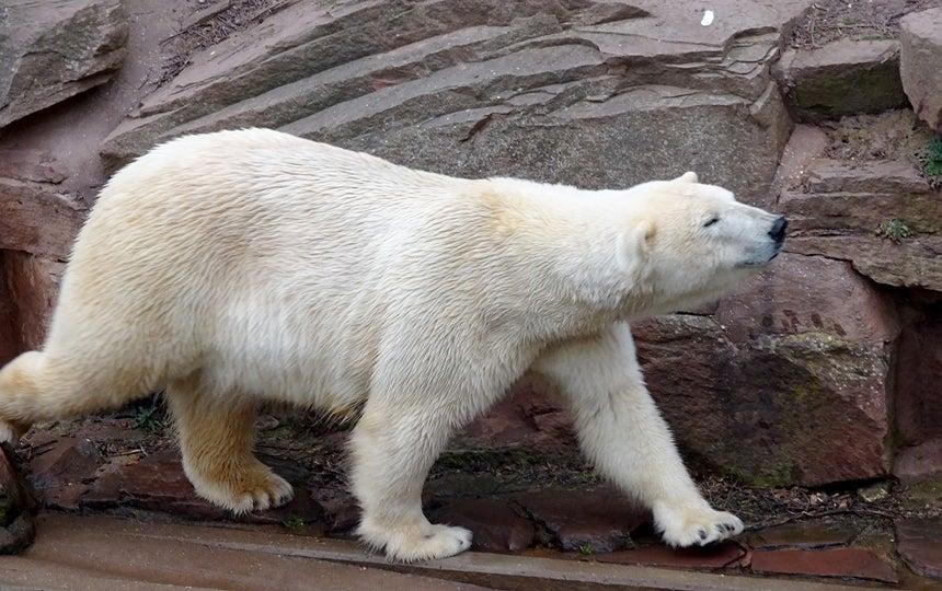 polar_bear_zoo_bear_white_access-alaska-spotlight